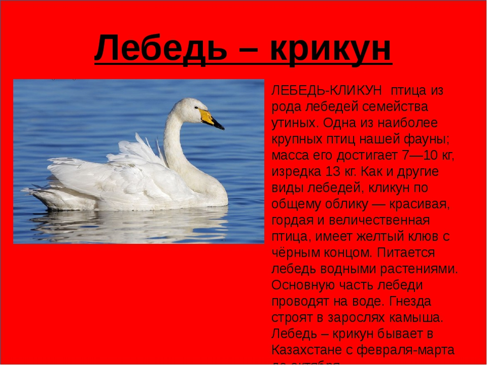 Лебедь – крикун ЛЕБЕДЬ-КЛИКУН птица из рода лебедей семейства утиных. Одна...