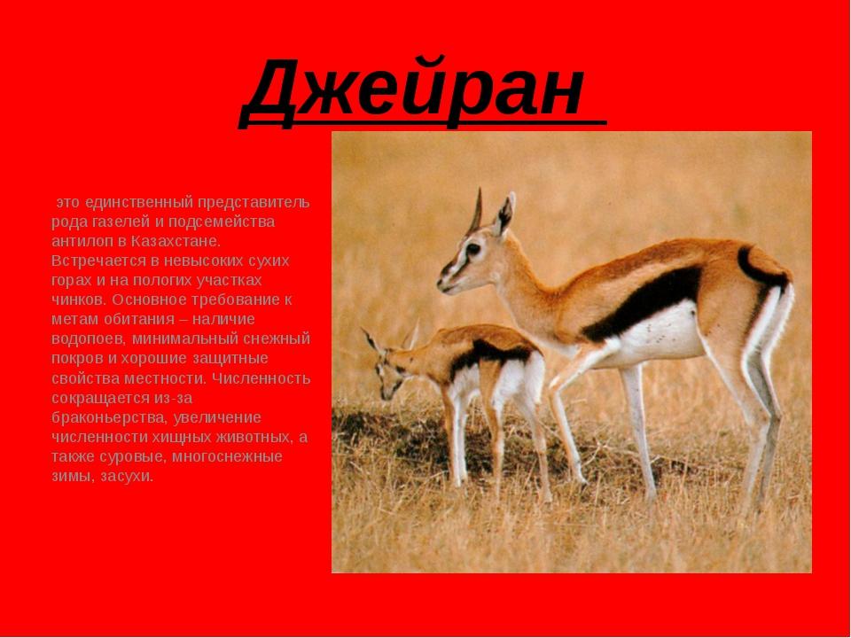 Джейран это единственный представитель рода газелей и подсемейства антилоп в...