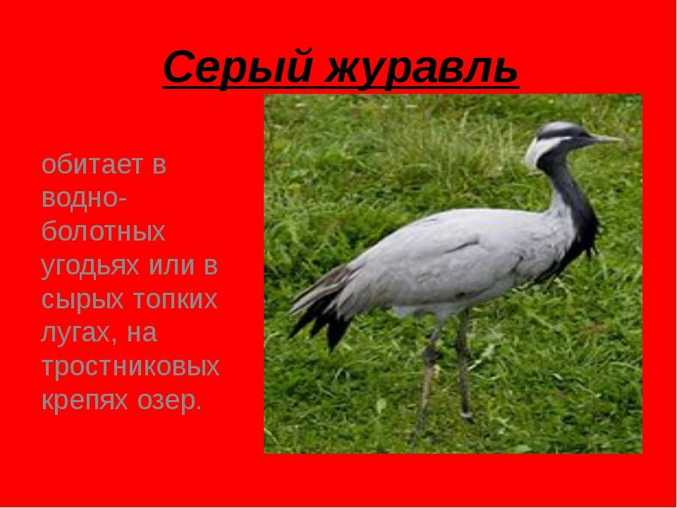 Серый журавль обитает в водно-болотных угодьях или в сырых топких лугах, на т...