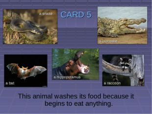 CARD 5 This animal washes its food because it begins to eat anything. a snake
