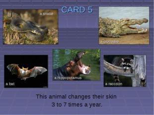 CARD 5 This animal changes their skin 3 to 7 times a year. a snake a bat a hi