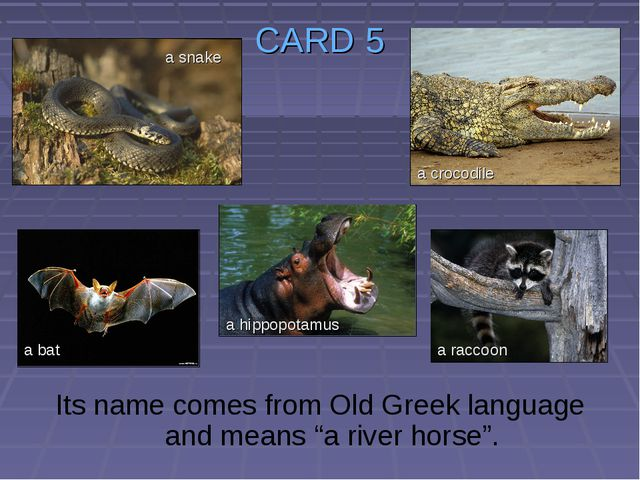 """CARD 5 Its name comes from Old Greek language and means """"a river horse"""". a sn..."""
