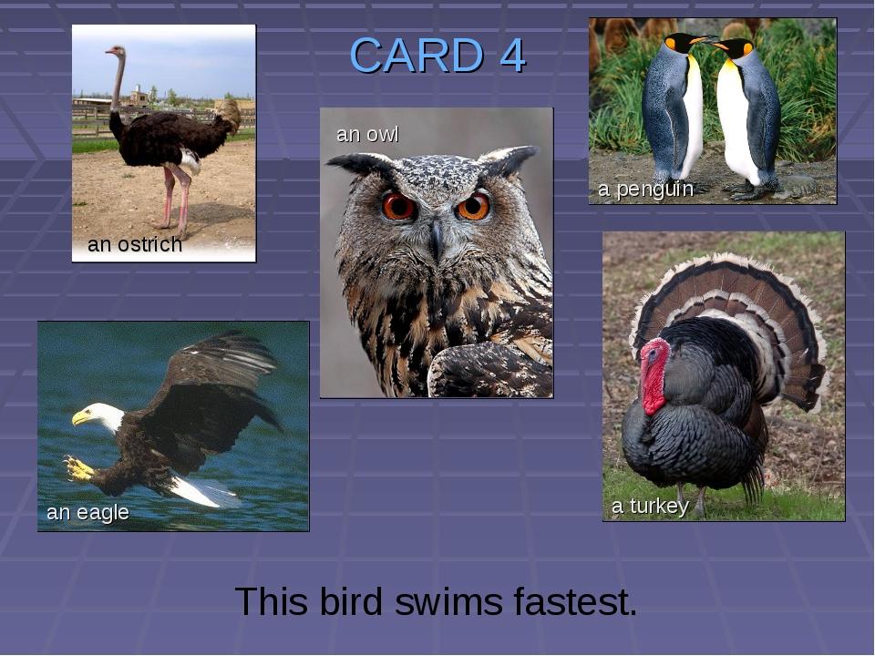 CARD 4 This bird swims fastest. an ostrich an owl an eagle a turkey a penguin