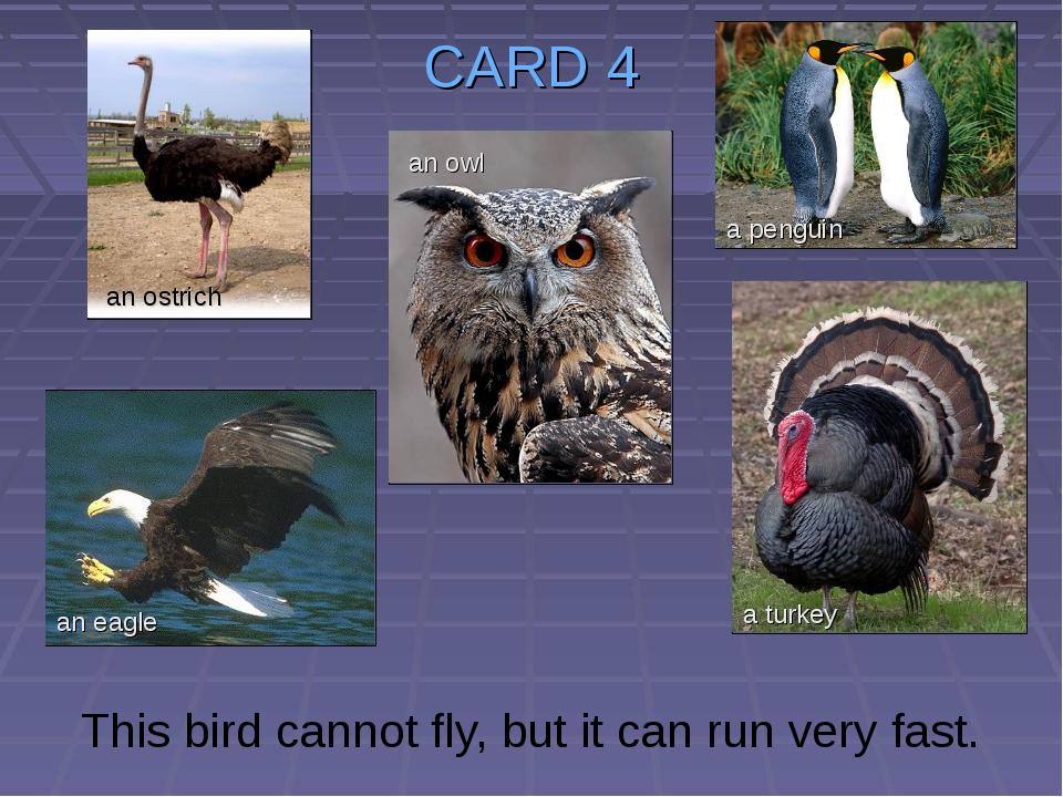 CARD 4 This bird cannot fly, but it can run very fast. an ostrich an owl an e...