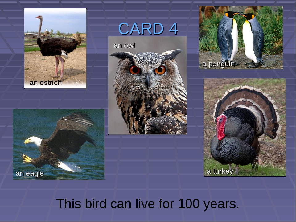 CARD 4 This bird can live for 100 years. an ostrich an owl an eagle a turkey...