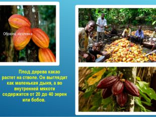 Плод дерева какао растет на стволе. Он выглядит как маленькая дыня, а во вну