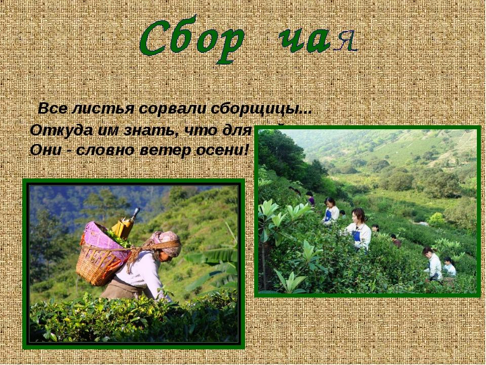 Все листья сорвали сборщицы... Откуда им знать, что для чайных кустов Они -...