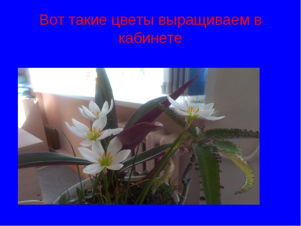 Вот такие цветы выращиваем в кабинете