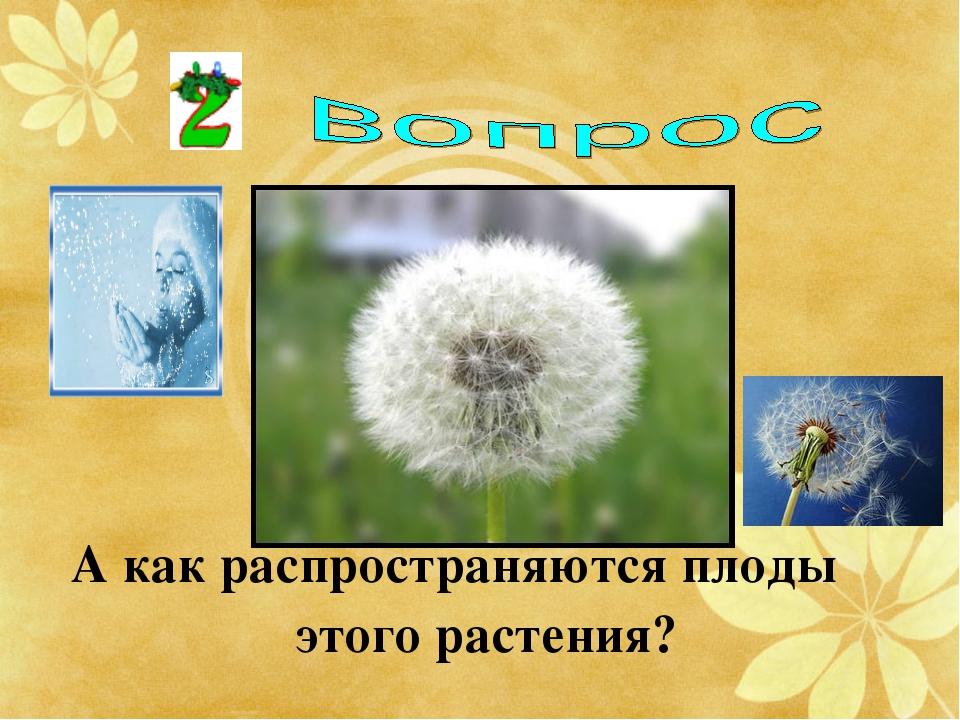 А как распространяются плоды этого растения?