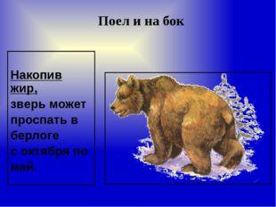 Накопив жир, зверь может проспать в берлоге с октября по май. Поел и на бок
