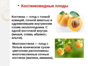 Костянковидные плоды Костянка — плод с тонкой кожицей, сочной мякотью и одрев