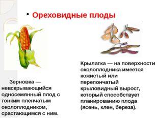 Ореховидные плоды Зерновка — невскрывающийся односемянный плод с тонким плен