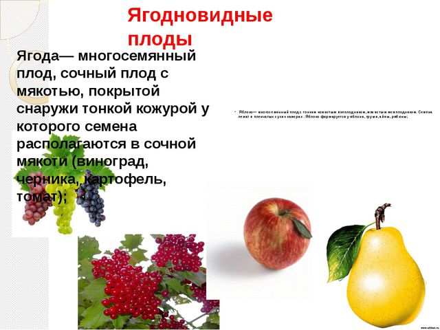 Яблоко— многосемянный плод с тонким кожистым внеплодником, мясистым межплодн...