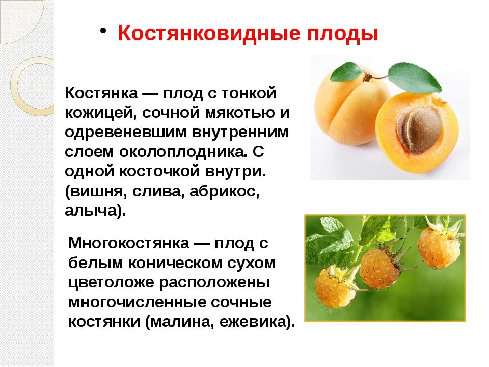Костянковидные плоды Костянка — плод с тонкой кожицей, сочной мякотью и одрев...