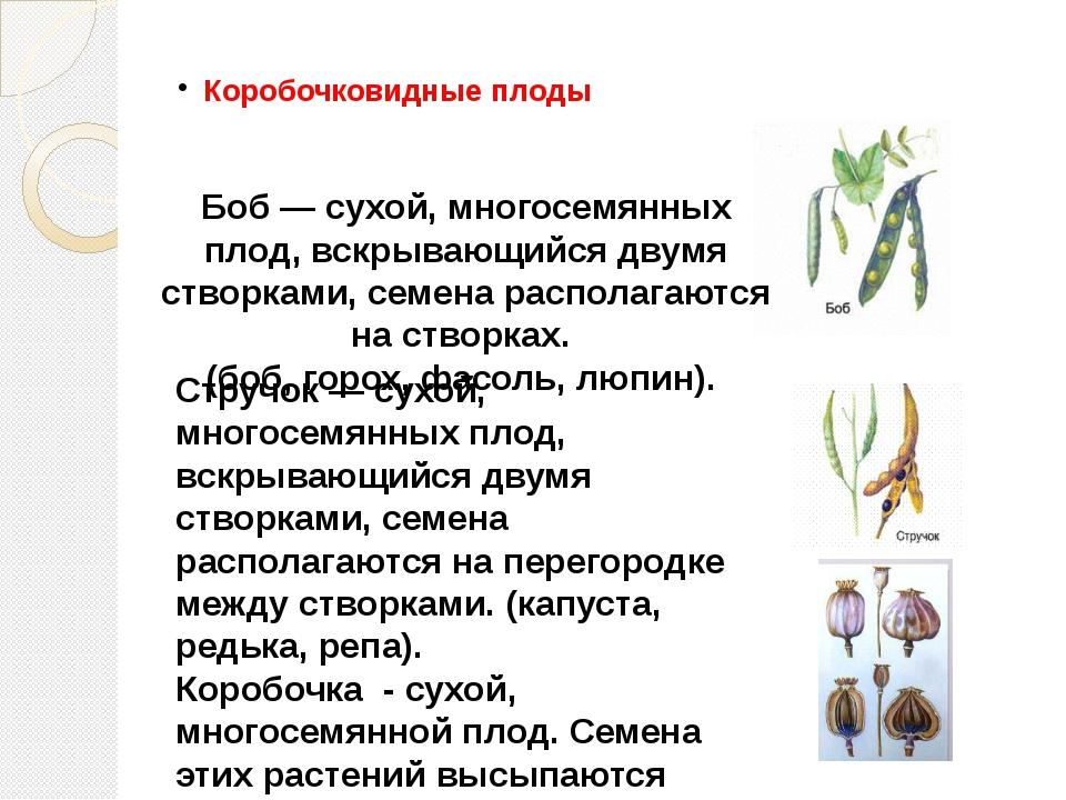 Коробочковидные плоды Боб — сухой, многосемянных плод, вскрывающийся двумя ст...