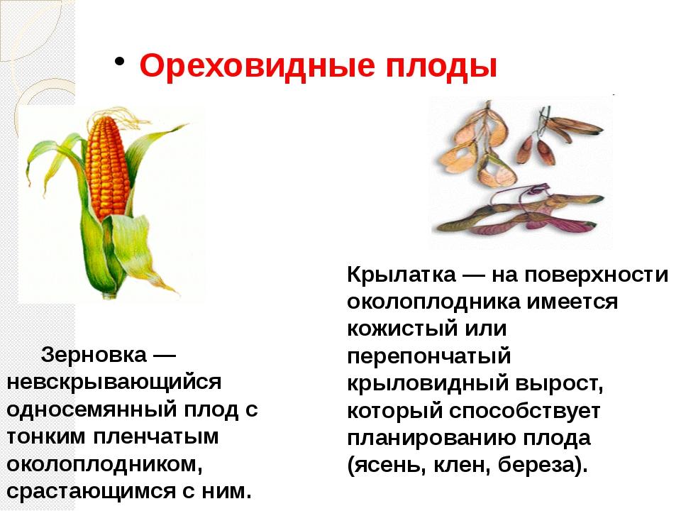 Ореховидные плоды Зерновка — невскрывающийся односемянный плод с тонким плен...