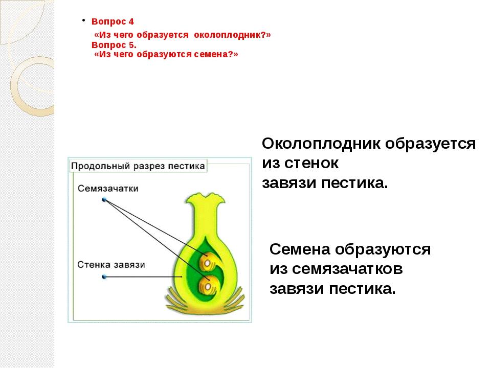 Вопрос 4 «Из чего образуется околоплодник?» Вопрос 5. «Из чего образуются сем...