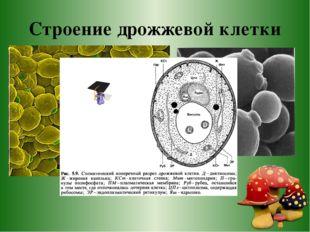 Строение дрожжевой клетки