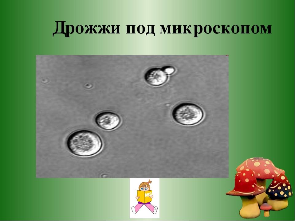 Дрожжи под микроскопом