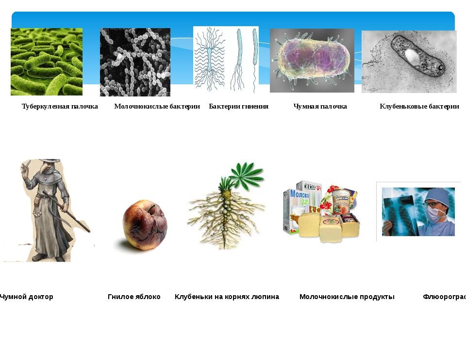 Туберкулезная палочка Молочнокислые бактерии Бактерии гниения Чумная палочка...