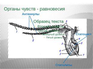 Органы чувств - равновесия Антеннулы Статоцист Статолиты