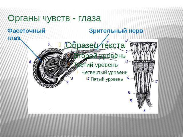 Органы чувств - глаза Зрительный нерв Фасеточный глаз