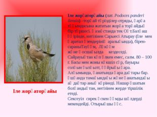 Іле жорғаторғайы(лат. Podoces panderi ilensis) –торғай тәрізділер отряды, қа