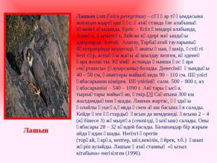 Лашын (лат.Falco peregrinus) – сұңқар тұқымдасына жататын жыртқыш құс. Қазақс