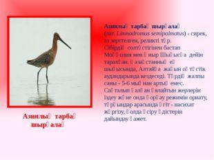Азиялық тарбақ шырғалақ (лат. Limnodromus semipalmatus) - сирек, аз зерттелг