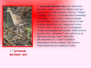 Құртамыш шалшықшы(лат. Numenius minutus) - сирек, таралған аймағы шағын, рел