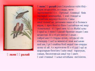 Үлкен құралай(лат.Carpodacus rubicilla) - сирек кездесетін, аз санды, жете з