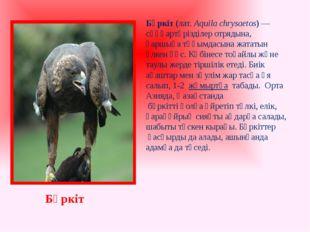 Бүркіт(лат.Aquila chrysaetos) —сұңқартәрізділеротрядына, қаршығатұқымдасы