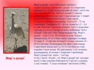 Жорға дуадақ(лат.Chlamydotis undulata) –тырнатәрізділеротрядының дуадақ тұқ