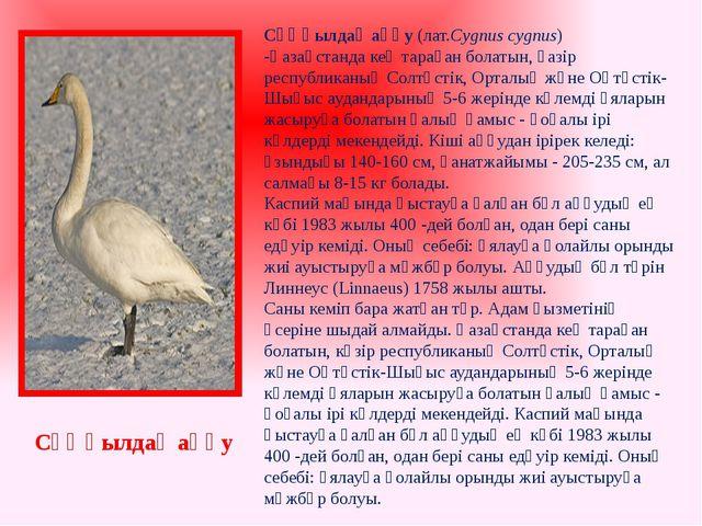 Сұңқылдақ аққу(лат.Cygnus cygnus) -Қазақстандакең тараған болатын, қазір ре...