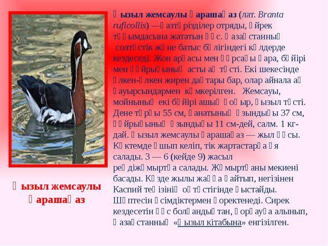 Қызыл жемсаулы қарашақаз (лат.Branta ruficollis)—қазтәрізділер отряды,үйре...