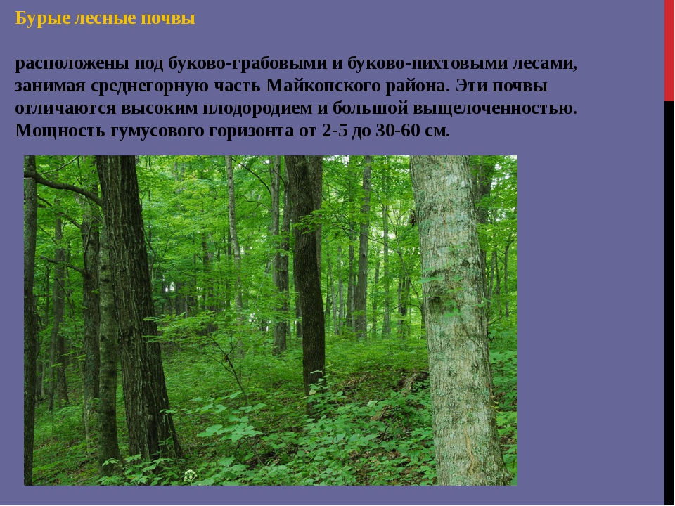 Бурые лесные почвы расположены под буково-грабовыми и буково-пихтовыми лесами...