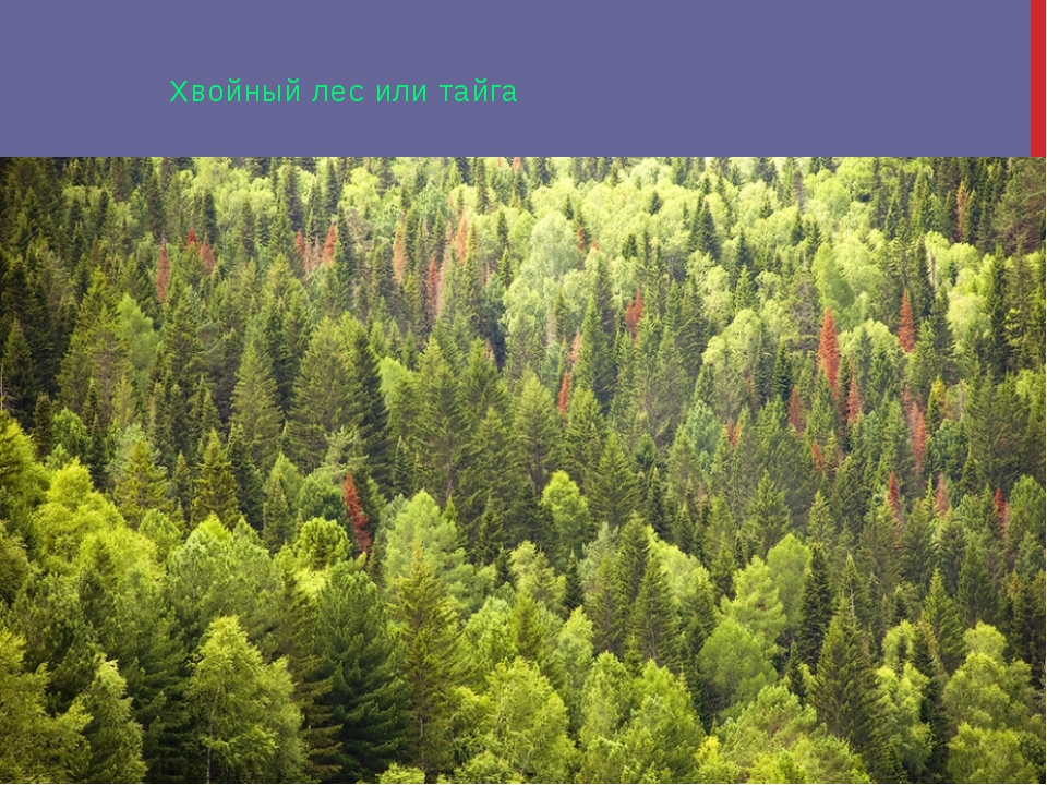 Хвойный лес или тайга