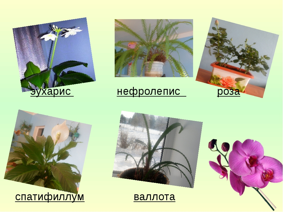 эухарис нефролепис роза спатифиллум валлота