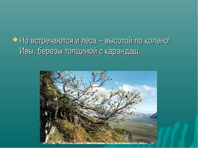 Но встречаются и леса – высотой по колено! Ивы, березы толщиной с карандаш.