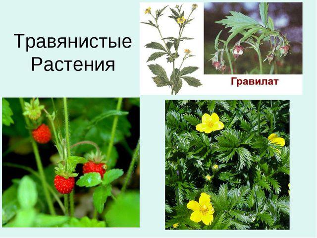 ТравянистыеРастения