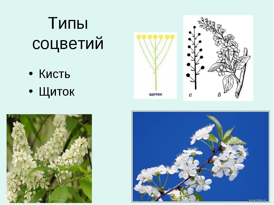 Типы соцветий Кисть Щиток
