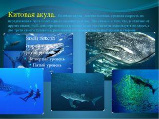 Китовая акула. Китовые акулы- плохие пловцы, средняя скорость их передвижения