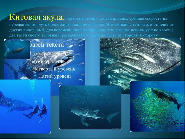Китовая акула. Китовые акулы- плохие пловцы, средняя скорость их передвижения...