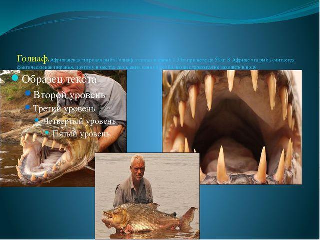 Голиаф.Африканская тигровая рыба Голиаф достигает в длину 1,33м при весе до 5...