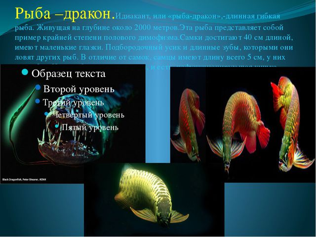 Рыба –дракон.Идиакант, или «рыба-дракон»,-длинная гибкая рыба. Живущая на глу...