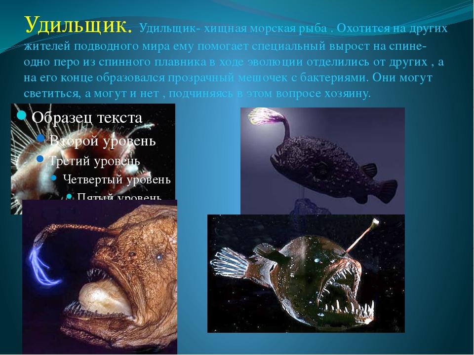 Удильщик. Удильщик- хищная морская рыба . Охотится на других жителей подводно...