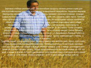 Зерновые хлебные растения дают нам важнейшие продукты питания,ценные корма дл