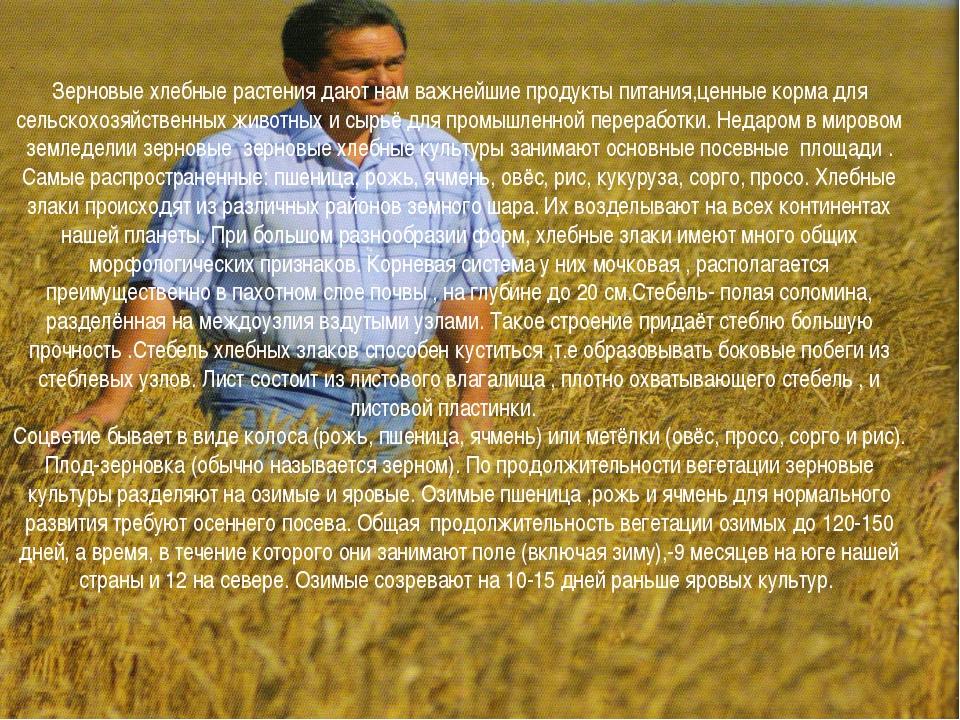 Зерновые хлебные растения дают нам важнейшие продукты питания,ценные корма дл...