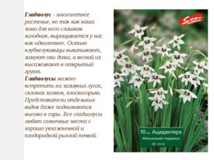 Гладиолус- многолетнее растение, но так как наша зима для него слишком холод