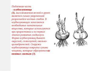 Подземная часть –клубнелуковица (1),высаживаемая весной в грунт, является с